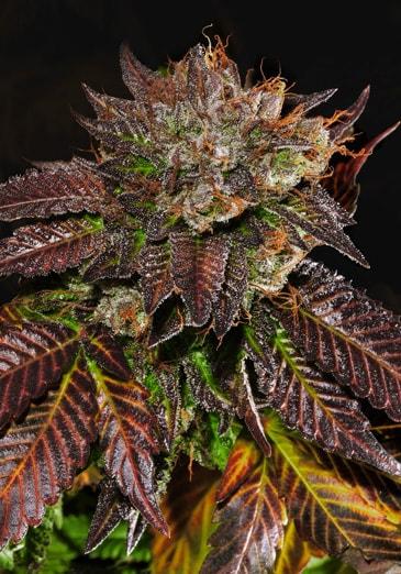 africa unite cannabis strain